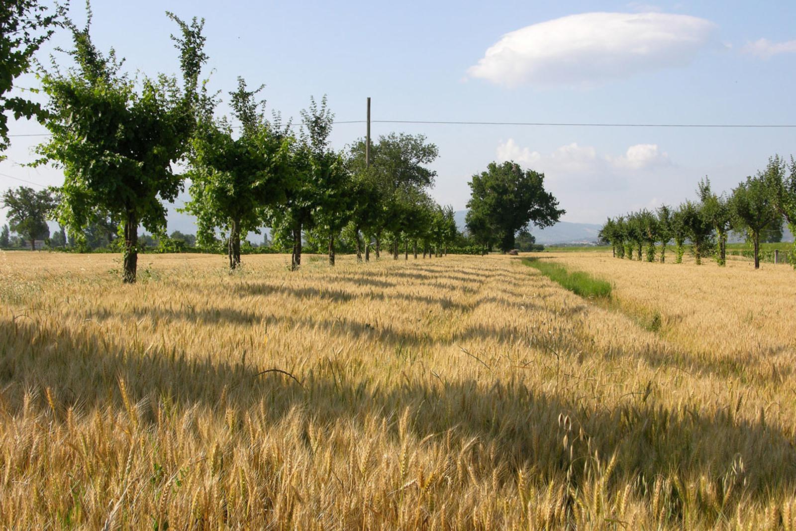 viti-maritate-nella-campagna-trevana-1200x800